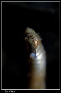 Bent stick pipefish, Alcoy, Cebu, 100mm + wetdiopter, sin... by Daniel Strub 